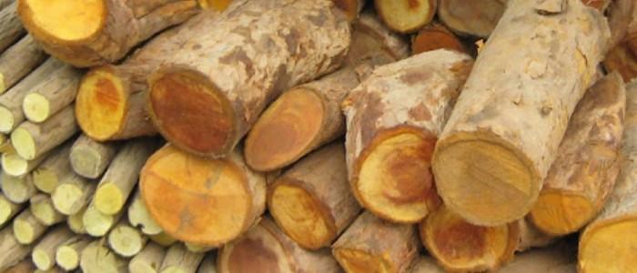 Thực hiện các cách sơ chế cây mật gấu và hướng dẫn sử dụng đúng cách